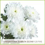 Хризантема-Зембла-Белая-120-руб