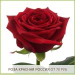 Роза-Красная-Россия-от-70-руб