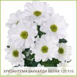 Хризантема-Баккарди-Белая-120-руб
