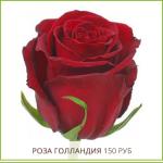 Роза-Голландия-150-руб