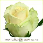 Роза-Голландия-Белая-150-руб