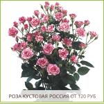 Роза-Кустовая-Россия-от-120-руб