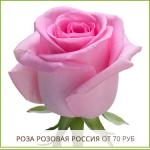 Роза-Розовая-Россия-от-70-руб